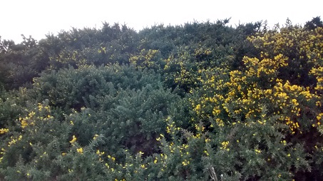 Gorse needing clearance at Filey