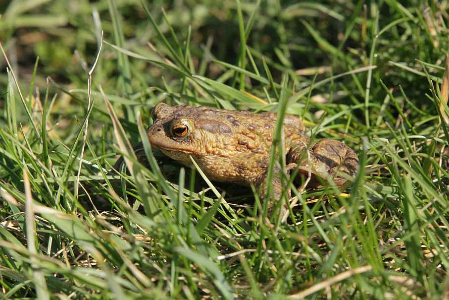 A toad enjoying the new wetland at the National Perry Pear Collection