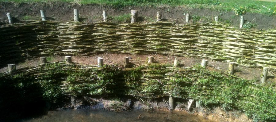 Live willow spiling newly installed along a watercourse to prevent erosion