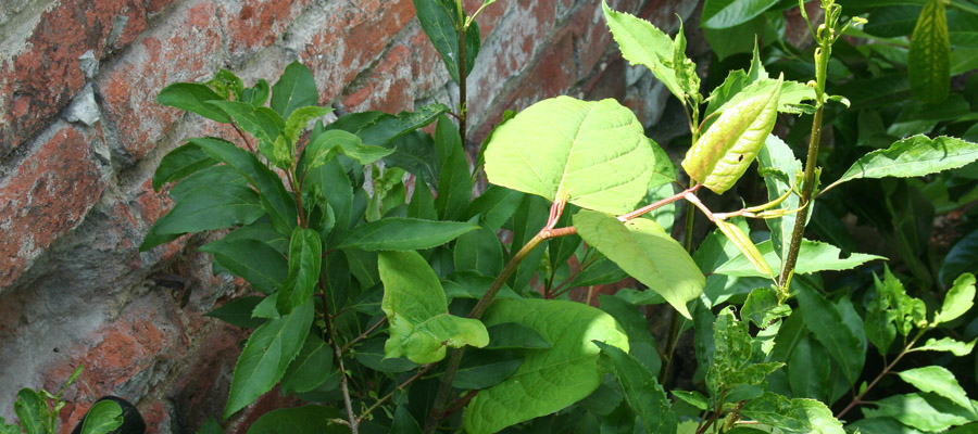 Japanese Knotweed growing out of a wall