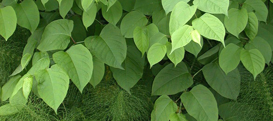 Close up of Japanese Knotweed Fallopia japonica