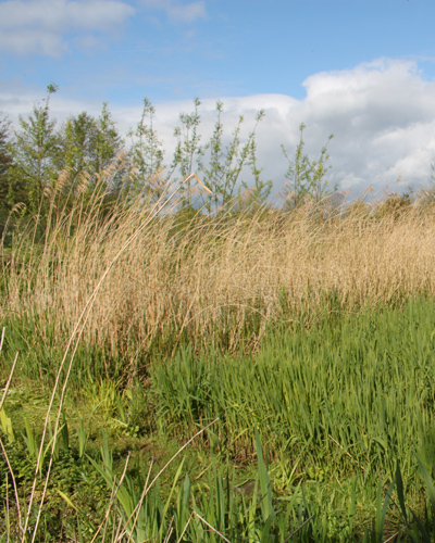 Phragmites australis - wetland creation