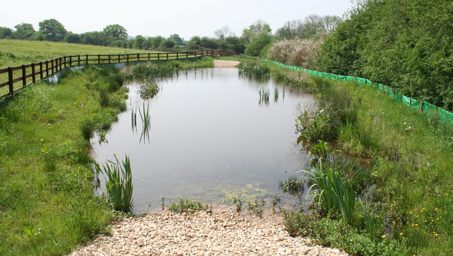 Great crested newt pond one year after construction at the disused Filton Airport in Bristol