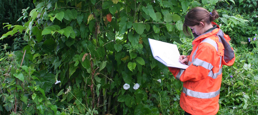 A surveyor surveying Japanese Knotweed in a private garden