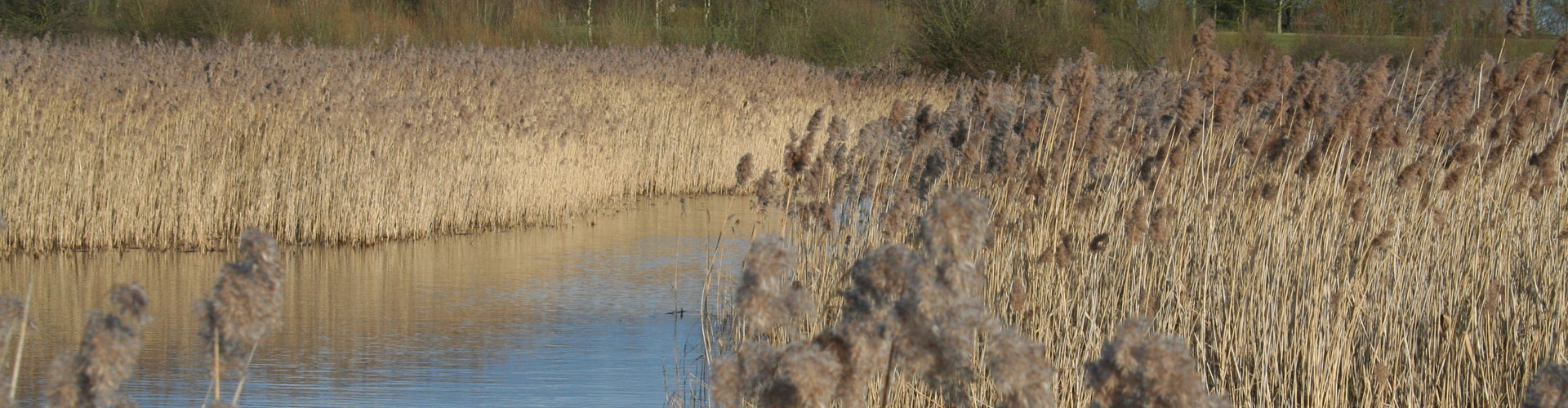 Phragmites australis at Brandon Marsh wetland in Warwickshire