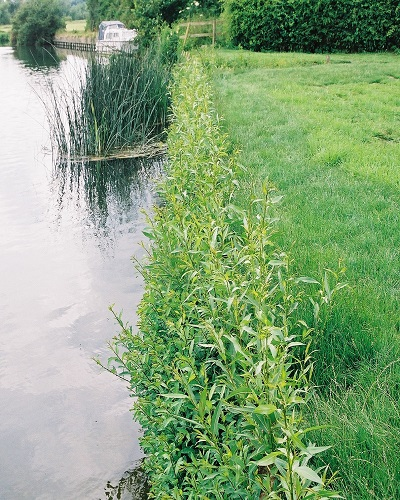 Live willow spiling growing on a river bank as revetment