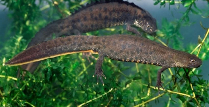 Great Crested Newt District Level Licensing