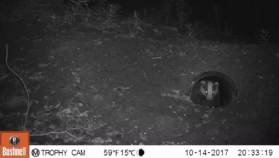badger emerging from an artificial sett
