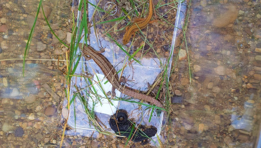 great crested newt smooth newt and common lizard