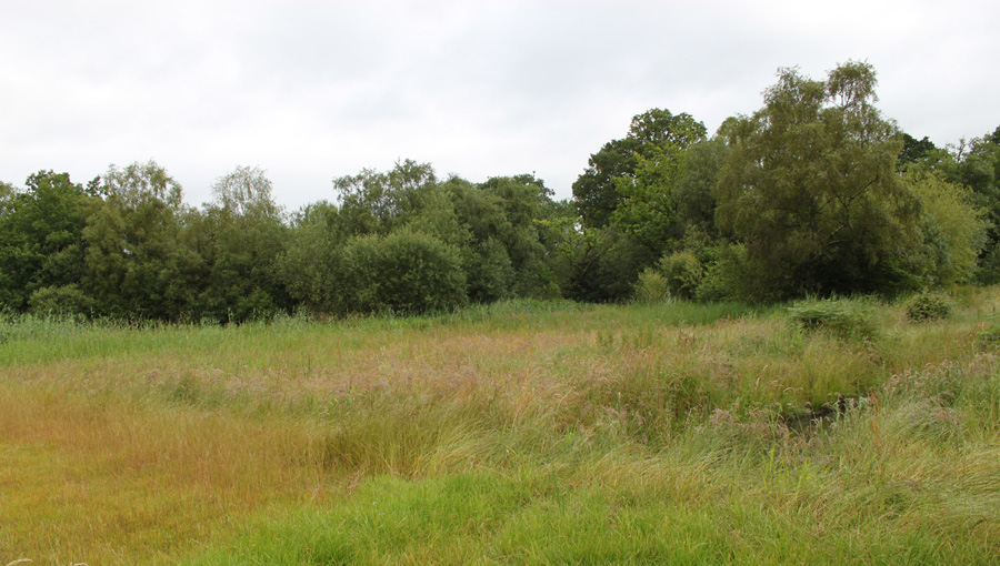 Reeds growing in refurbished reedbed at BSW Timber