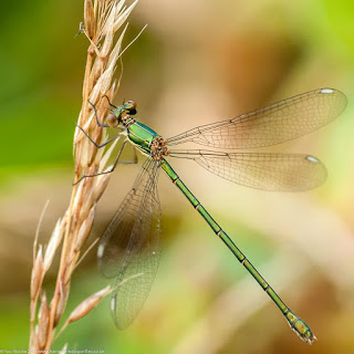 Emerald damsel fly