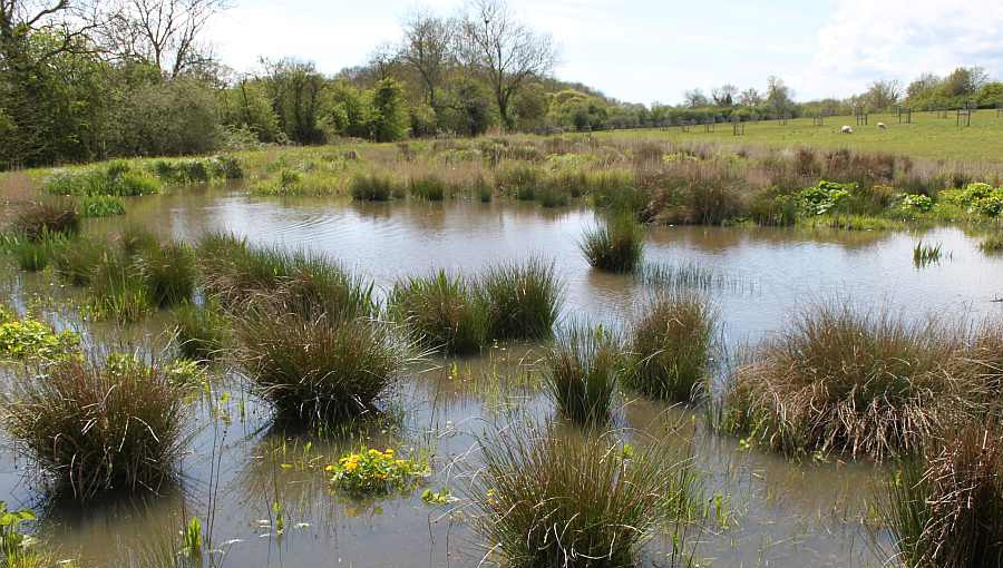 Hard rush on the wetland creation project at the National Perry Pear Centre in Hartpury, Gloucestershire