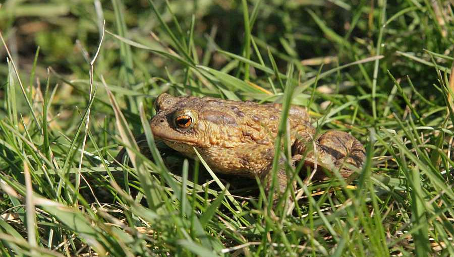 Toad at a wetland creation project at the National Perry Pear Centre, Hartpury, Gloucestershire