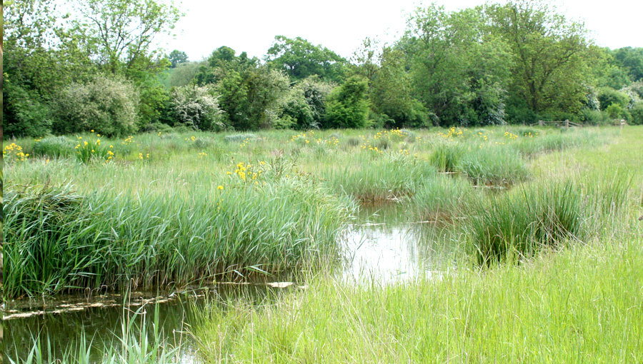 Yellow flag iris on the wetland created at the National Perry Pear Centre in Hartpury Gloucestershire