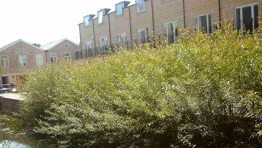 Willow spiling growing on a housing estate in Witney one year after installation