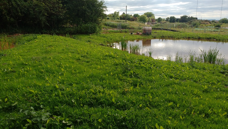 Newt mitigation pond with marginal vegetation at Stoke Prior
