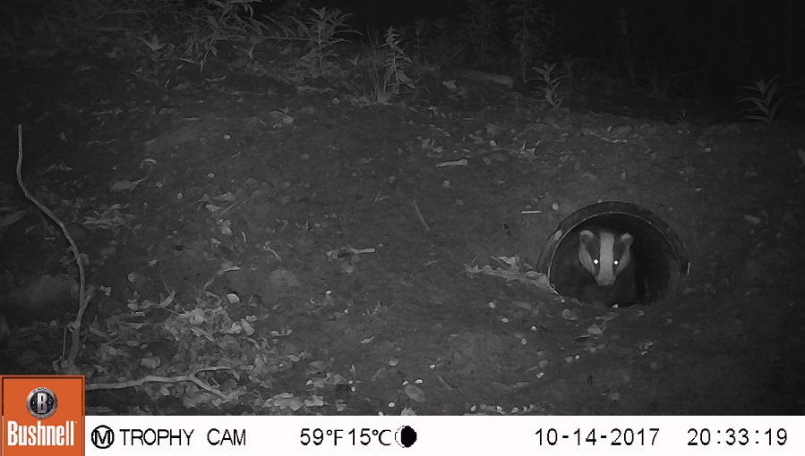 A badger using the artificial sett
