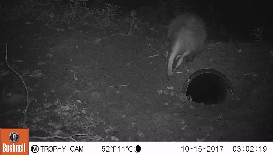 A badger investigating the artificial sett