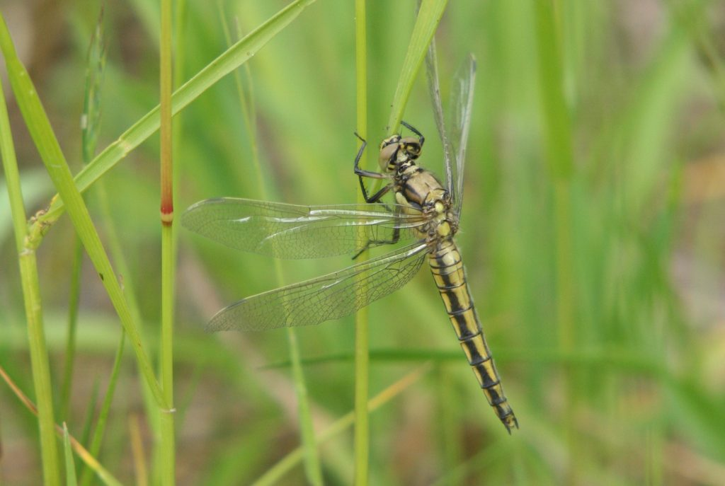A female black-tailed skimmer dragonfly at Hartpury Orchard Centre
