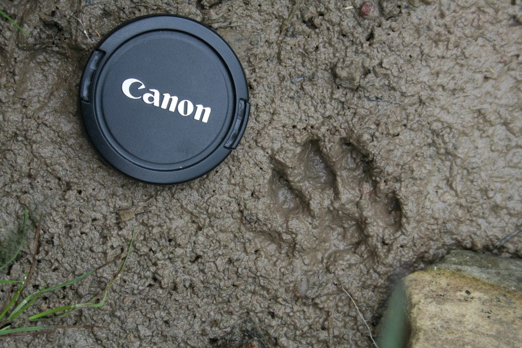 Otter prints next to a lens cap to show scale