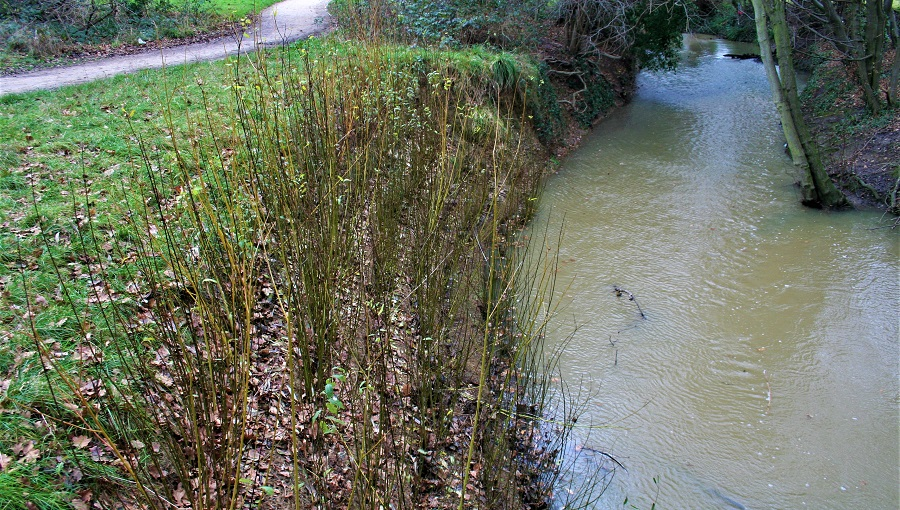 Willow growing as erosion control